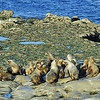 Lobos marinos, Peninsula de Valdes. Patagonia Argentina