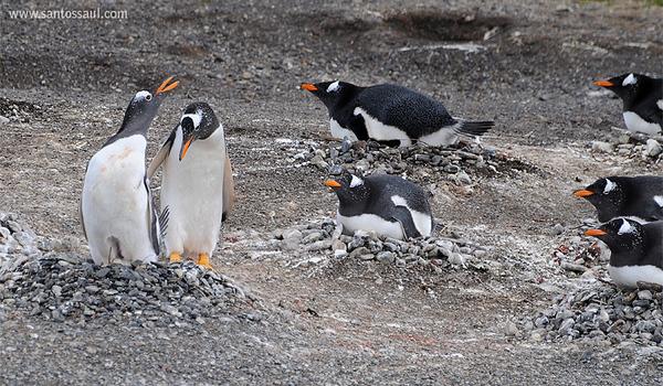 Pingüinos Papua (Pygocelis Papua),  Isla Martillo, Ushuaia, Tierra del Fuego, Patagonia. Argentina