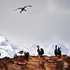 Cormoranes en la Isla de los Pajaros, Ushuaia, Tierra del Fuego, Patagonia. Argentina