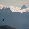 Condor sobrevolando los Andes, Patagonia Chilena