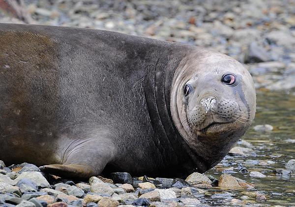 Cria de Elefante marino, Tierra del Fuego, Patagonia Chilena.