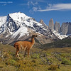 Guanacos, Parque Nacional Torres del Paine. Patagonia Chilena