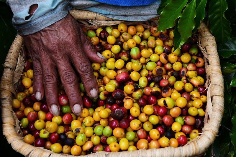 Recolectora de Cafe, El Cauca, Colombia