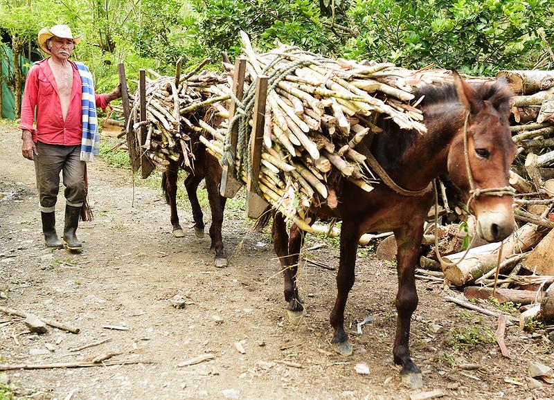 """Paisa"" Campesino, recogiendo caña de azucar, Colombia"