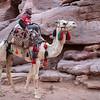 Camellos,  Petra. Jordan.