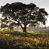 Oak Silhouette 2