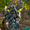Grape Closeup