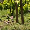 Geese and Goslings in Storybook Vineyard