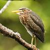 Green heron fledgling portrait