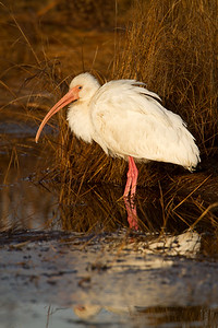 White ibis reflection in water