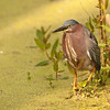 Green heron hunting.