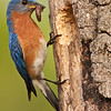 Eastern bluebird delivering caterpillar to nest in oak snag.