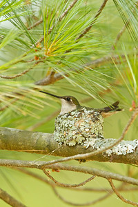 Ruby throated hummingbird on nest