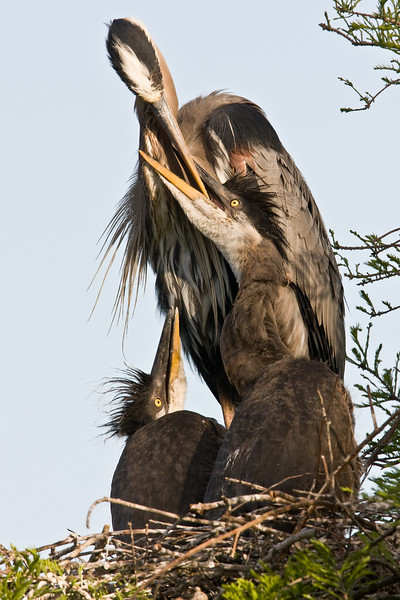 Great Blue Heron feeding young at the nest.