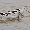 Group of American avocets foraging together.