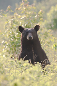 Black bear standing up for a look around in blackberry patch.
