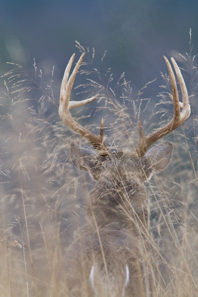 White tailed buck in tall grass.