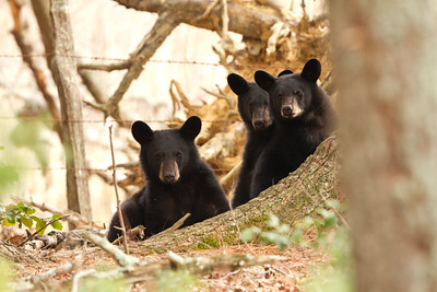Three black bear cubs