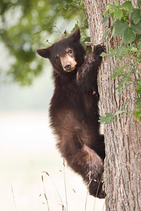 Black bear climbing out of white oak tree