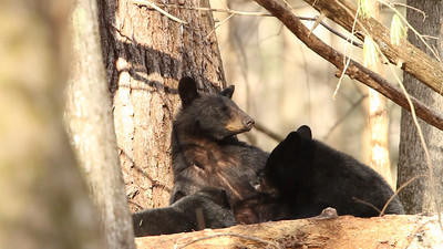 Black bear sow and nursing cubs