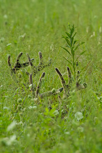 White tailed bucks bedded down in a green field with only the tops of their velvet antlers showing.