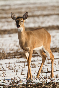 White tailed deer in Eastern NC snow