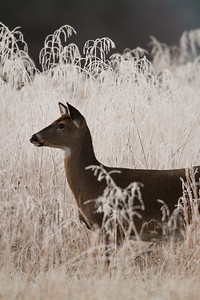 White tailed doe in frosty grass