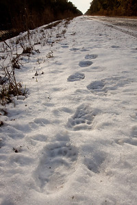 Black bear prints in snow.