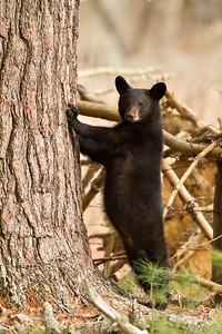 Black bear cub standing on hind limbs
