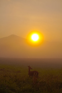 White tailed doe on a foggy morning at sunrise.