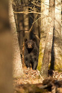 Black bear in hardwood forest.