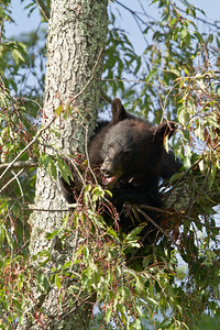 Black bear sow eating cherries.