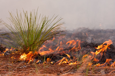 Longleaf pine sapling during prescribed burn.