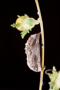 Common Buckeye butterfly chrysalis.
