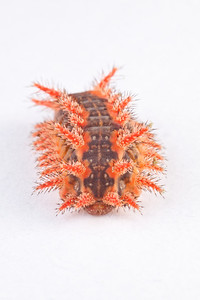 Spiny oak slug on white background.