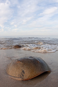 Horseshoe crab pairs arriving to breed at high tide.