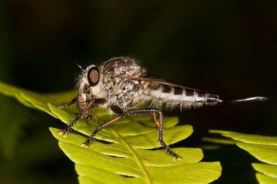 Robber fly with prey item on fern.