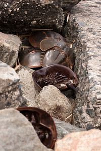 Stranded Horseshoe crabs after coming ashore to mate.