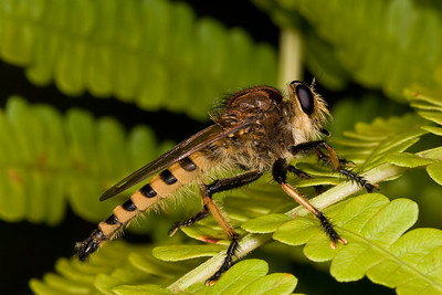 Robber fly on fern.