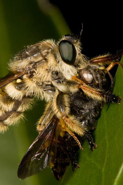 Robber fly with prey item.