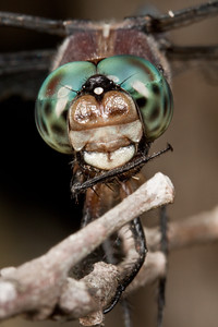 Dragonfly close up.