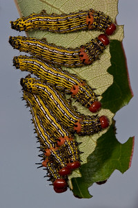 Red-humped caterpillars eating a persimmon leaf.