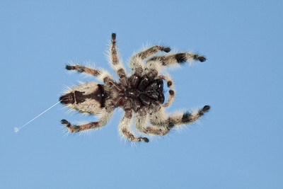 Jumping spider photographed through glass.