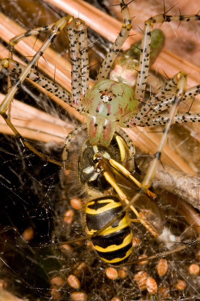 Green lynx spider feeding yellow jacket to young.
