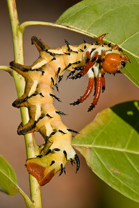 Hickory hoened devil caterpillar.