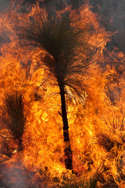Longleaf pine sapling on fire during prescribed burn.