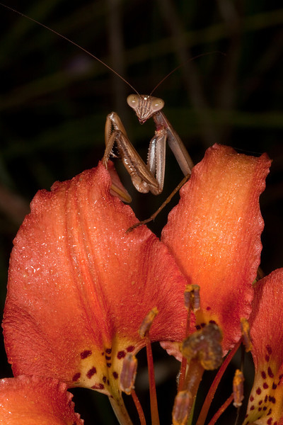 Praying mantis hunting butterflies on Pine Lily.