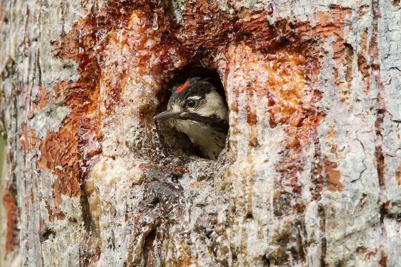 Male red-cockaded woodpecker nestling begging for food