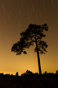 Longleaf pine silhouette with star trails.