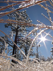 Ice on longleaf pines.